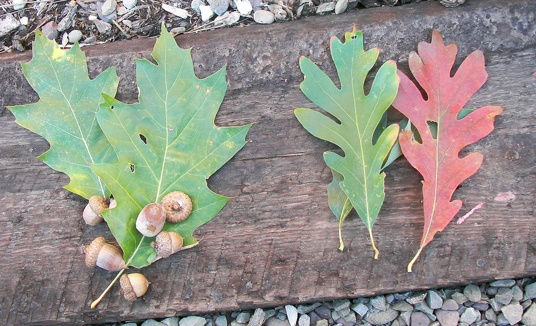 Red oak acorns and leaves on left; white oak leaves on right.